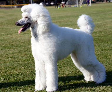 poodle dog standing in grass
