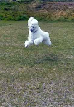 poodle dog running and jumping in grass